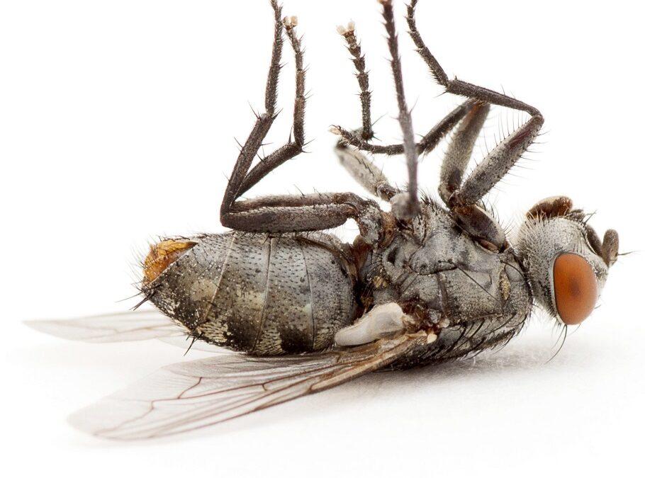 Eliminacja much – wyzwania hodowców